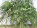 Dwarf Pigmy Palm