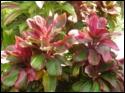 Kauai Beauty Cordeline/Ti
