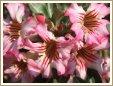 Adenium Desert Rose Pink Paragon seeds