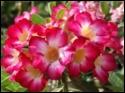 Adenium Desert Rose Jackpot seeds