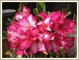 Adenium Desert Rose Mahasombat seeds