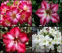 Adenium Desert Rose 25 Mixed Adenium seeds