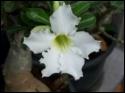 Adenium Desert Rose Moradoklok White seeds