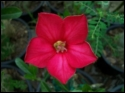 Adenium Desert Rose Sukum Red seeds