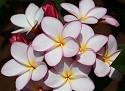 Camra Plumeria Seeds