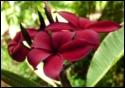 Hilo Beauty Plumeria seeds