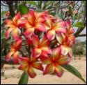 Orange Splendor Plumeria Seeds