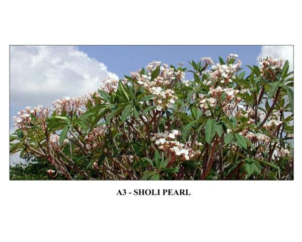 India Sholi Pearl Plumeria Seeds