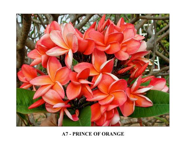 Prince Of Orange Plumeria Seeds