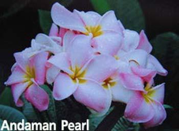 Andaman Pearl Plumeria Seeds