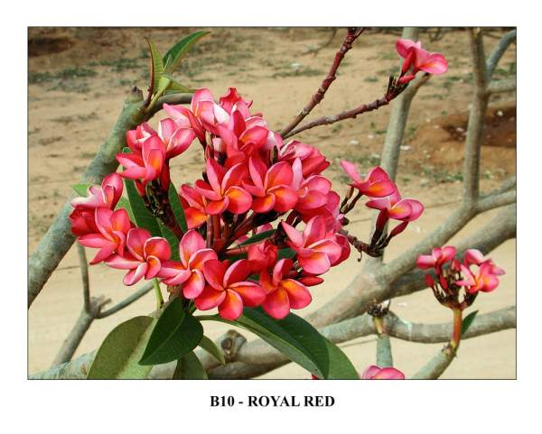 India Royal Red Plumeria Seeds