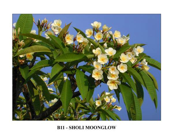 India Sholi Moonglow Plumeria Seeds