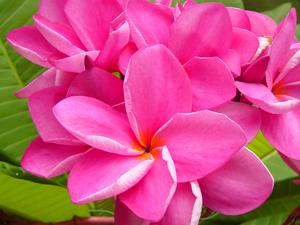 Pink Beauty Plumeria Seeds