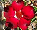 Adenium Desert Rose Black Red seeds