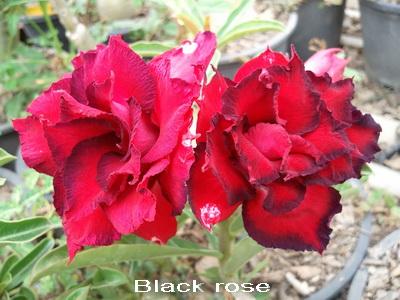Black Rose TRIPLE flower Adenium Obesum Desert Rose Seeds