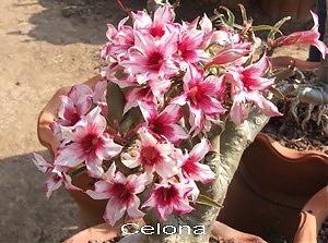 Celona Double Flower Adenium Obesum Desert Rose Seeds