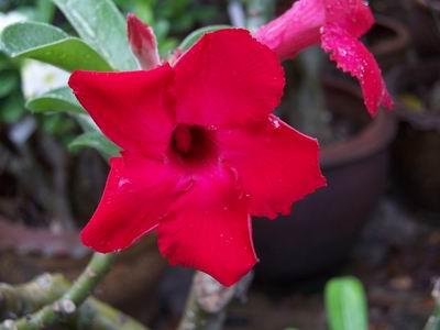 Adenium Desert Rose Chang Red seeds