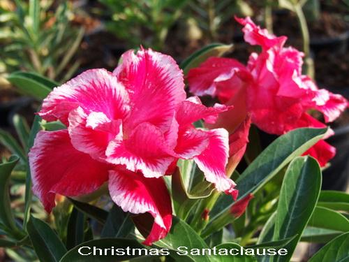 Christmas Santa Claus TRIPLE Flower Adenium Obesum Desert Rose Seeds