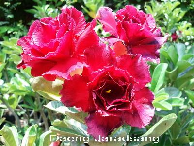 Daeng Jaradsang TRIPLE flower Adenium Obesum Desert Rose Seeds