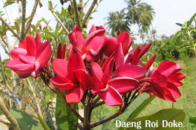 Dang Roi Doke Plumeria Seeds