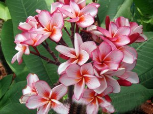 Diamond Water First Rooted Grafted Plumeria Cutting