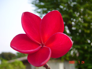 Siam Red Plumeria Cutting