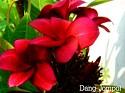 Dang Jompol Plumeria Seeds
