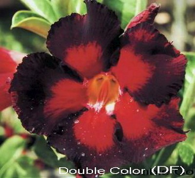 Double Flower Double Colour Adenium Obesum Seeds