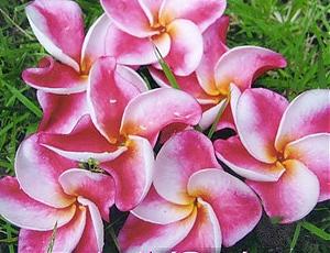 Elsie Plumeria Plumeria Seeds