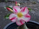 Adenium Desert Rose Fragrant Delight seeds