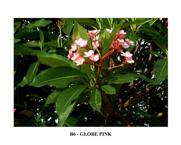India Globe Pink Plumeria Seeds