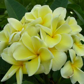 Happy Yellow Plumeria Seeds