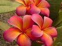 Hybrid #177 Plumeria seeds