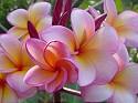 Hybrid #0526 Plumeria Seeds