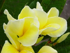 Hybrid Yellow 2 Plumeria Cutting