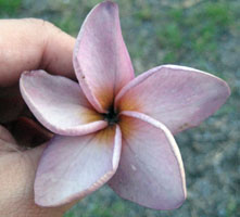 Jack Purple Plumeria Seeds