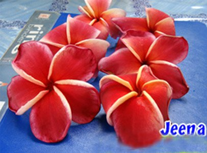 Jeena Rooted Grafted Plumeria Cutting