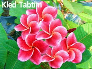 Kled Tabtim Plumeria Seeds
