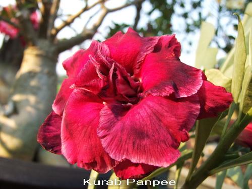 Kurab Panpee TRIPLE Flower Adenium Obesum Desert Rose Seeds