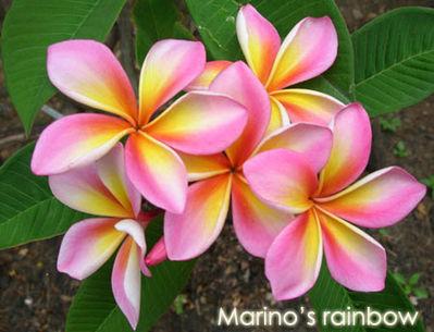 Marinos Rainbow Plumeria Frangipani Seeds
