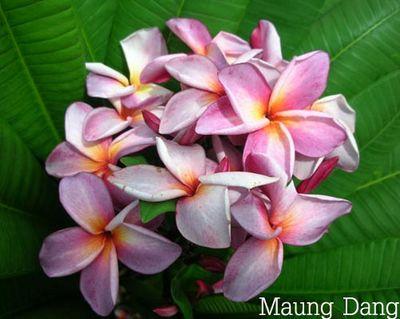 Maung Dang Plumeria Seeds