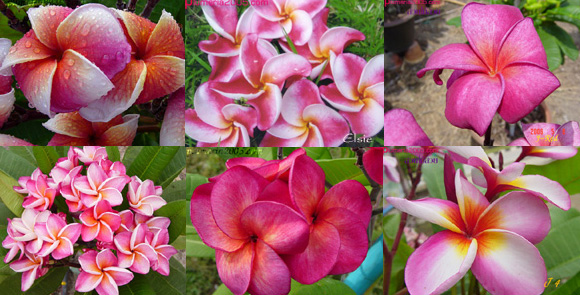 Mixed Plumeria (100) Seeds