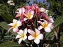 PA 1 Plumeria Seeds