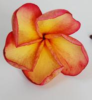 Puang Yok Plumeria Seeds