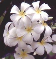 Singapore Plumeria Seeds