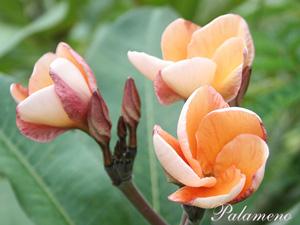 Palameno Seeds Plumeria Seeds