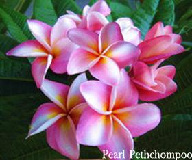 Pearl Pethchompoo Plumeria Seeds