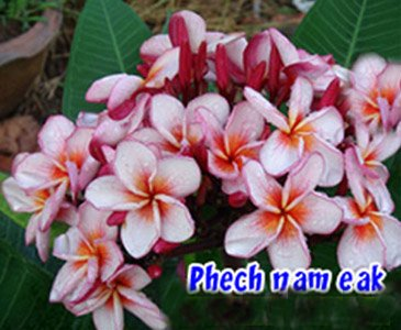Phet Nam Eak Rooted Grafted Plumeria Cutting