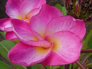 Pink Twirl Plumeria Seeds