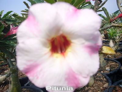 Adenium Desert Rose Pitunia Seeds